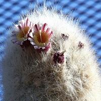 کاکتوس سفالوسرئوس-cephalocereus