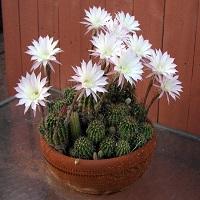 کاکتوس اکینوپسیس-echinopsis